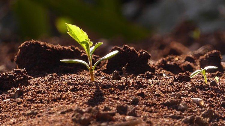 Gorčično zrno zraste v veliko drevo (Mr 4,26-34)